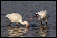 A visits from the Spoonbills