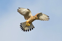 Falcons Hawks and Harriers