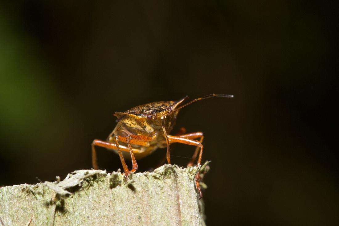 Wood Bug