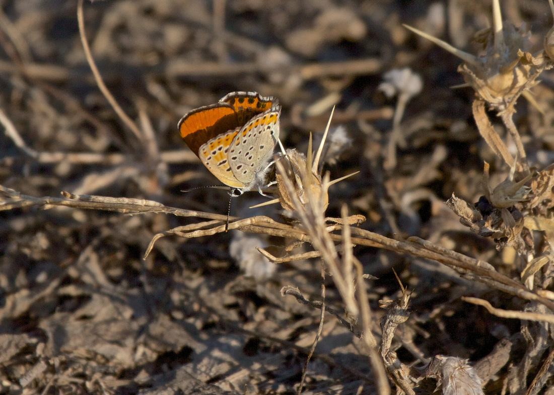Lesser Fiery Butterfly