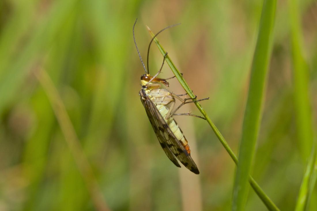Scorpianfly Female