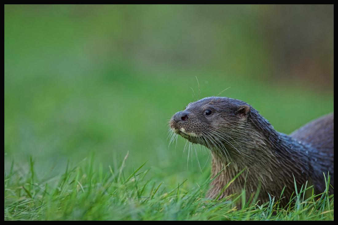Otter (Luta lutra)