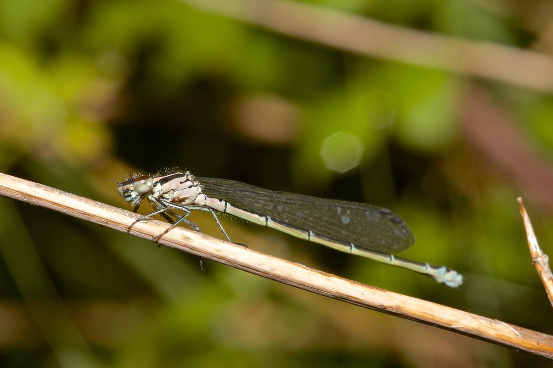 Southern Blue  Damselfly (Female)