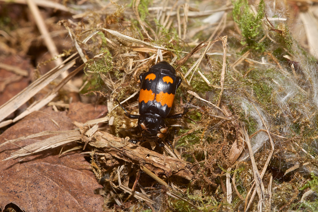 Burying Beetle and Family