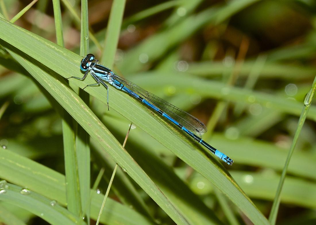 Azure Blue Damselfly