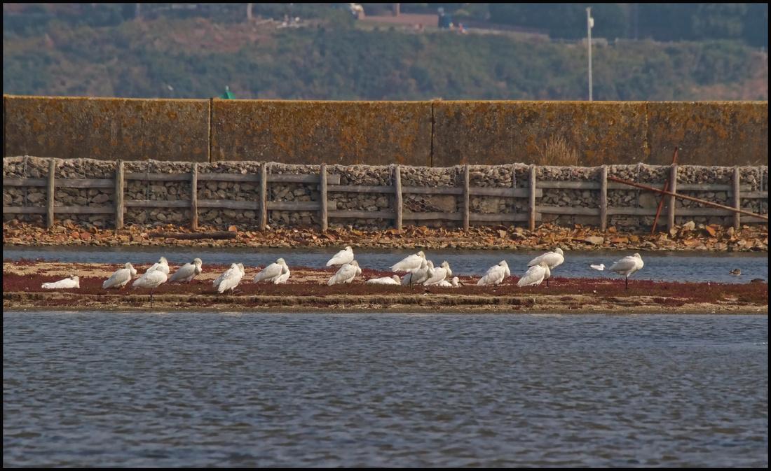 Flock of 20+ Spoonbills